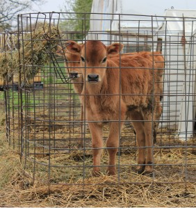 R-Farm purchases its Jersey Steer calves from a rotational grazing dairy farm in Waukesha, Wis.