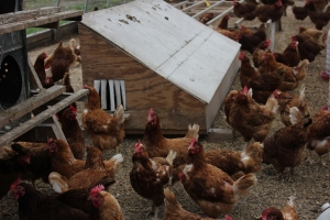 R-Farm currently raises a variety of 200 Production Red and Barred Rock chickens.