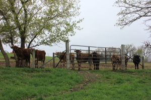 R-Farm's cattle herd is grass-fed on pasture from spring up until winter.