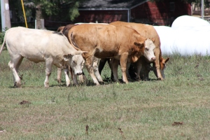 Jeff-Leen Farm in Random Lake, Wis., has raised Piedmontese cattle since 1997.